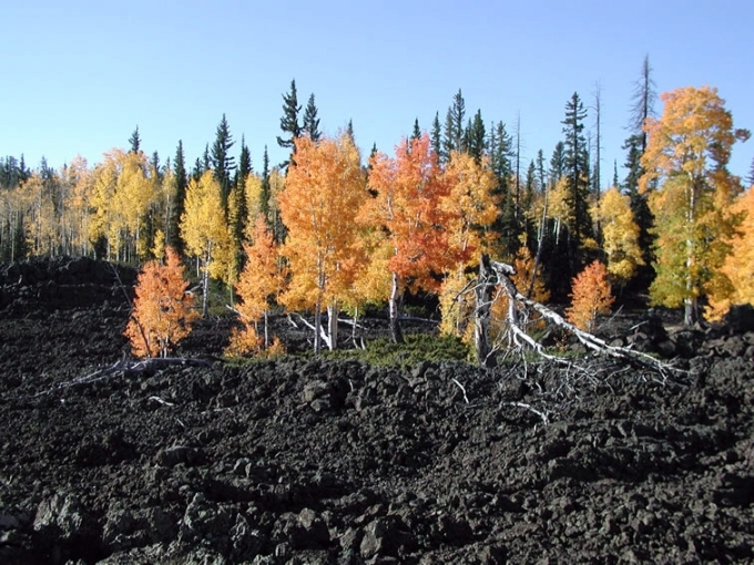 Aspen are some of the first plants to return to even the most harsh environments.  Like this field of recently-cooled lava.