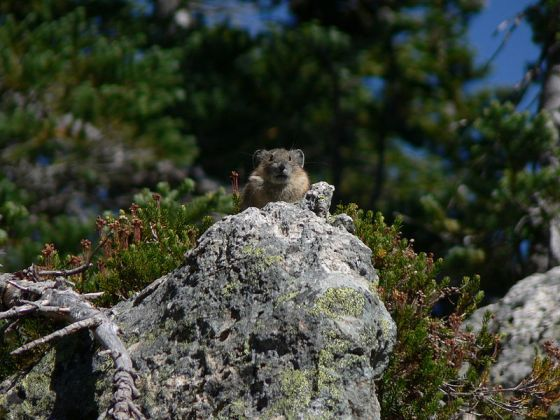 A Pika considers its future.   Also, what to eat for lunch.