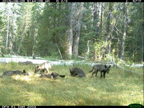 Grey Wolves, you'd think, would be grey.  This pack is more brownish-black.  Maybe from being in the California sun.