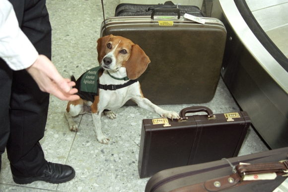 One of the Department of Agriculture's Beagle Brigade Inspectors (it's a real thing), signals a piece of luggage that smells like it could contain illegal plants.  Hopefully it's just a pair of someones dirty socks.