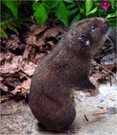 Although typically camera-shy, Mountain Beavers are not opposed to looking exceptionally cute.
