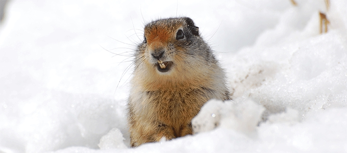 Ground squirrel in snow