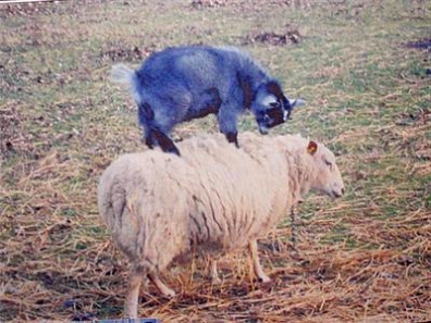 Goat standing on Sheep R