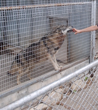 A wolf confined to a small cement and wire cage while some random person sticks his fingers through the wire. Who's in more danger, the wolf or the person?