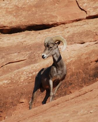 'Sheepstep', the Desert Bighorn, is shocked to hear some people don't think his home is special enough to be preserved.  He's also surprised he can stand on the side of a rock without falling off.