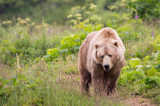 You can imagine what photos would go with this story.  So here's a totally unrelated picture of a Kodiak brown ('grizzly') bear exploring his home.  Of course he'd probably eat any cat or dog he found pooping in his territory.